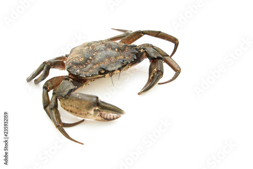 Crab. Black sea crustacean, isolated on white background