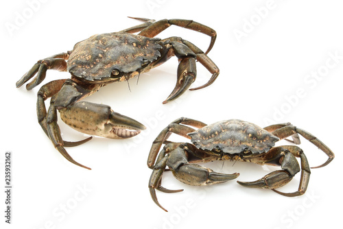 Crabs isolated on white background