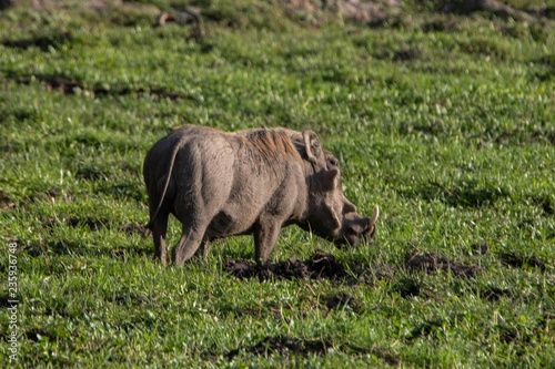 Warzenschwein im Amboseli Nationalpark in Kenia Canvas Print