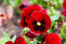 Red Pansy Flowers Are Blommong...