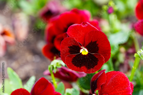 Acrylic Prints Pansies Red pansy flowers are blommong in the garden