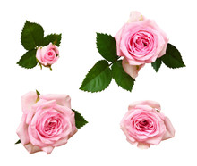 Set Of Pink Rose Flower And Buds