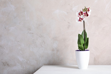 Beautiful tropical orchid flower in pot on table near color wall. Space for text