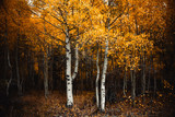 Fototapeta Forest - Colorful tree in autumn