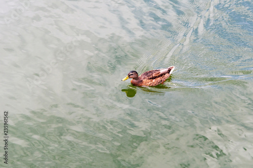 Fotografia, Obraz  Yellow-billed Duck Anas undulata floating in the lake Kaban.