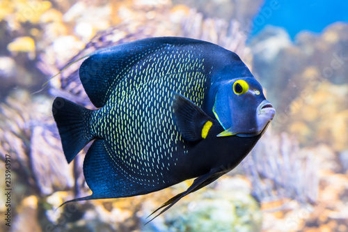 King angelfish Holacanthus passer , also known as the passer angelfish Canvas Print