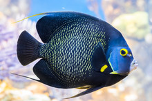 King Angelfish Holacanthus Pas...