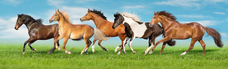 Horses free run gallop i green field with blue sky behind