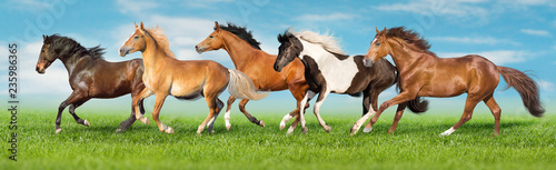 Fotografia, Obraz Horses free run gallop i green field with blue sky behind