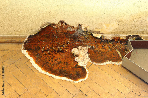 fruiting body of dry rot growing on parquet Fototapet