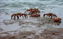 Sally Lightfoot Crabs On Barto...