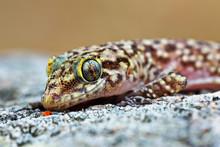 Mediterranean House Gecko Port...