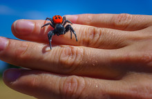 Close Up Ladybird Spider (Eres...