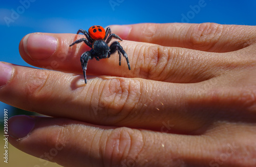 Close up Ladybird Spider (Eresus Sandaliatus) on the woman's hand Wallpaper Mural