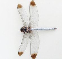 Close Up Of Dragonfly On White...