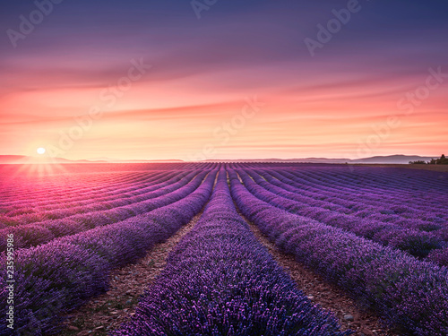 Poster Lavendel Lavender flower blooming fields endless rows at sunset. Valensole provence