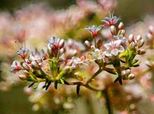 California Buckwheat In Bloom
