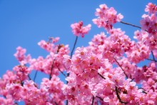 Close Up Of Cherry Blossoms Ag...
