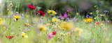 Fototapeta Kwiaty - wildblumenwiese natur banner