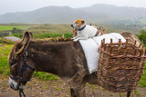 Dog Sitting on a Pony in Ireland