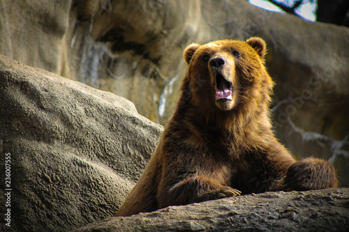 Bear standing against the r...