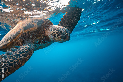 In de dag Schildpad Turtle underwater touching water surface with flipper, closeup portrait on blue water background