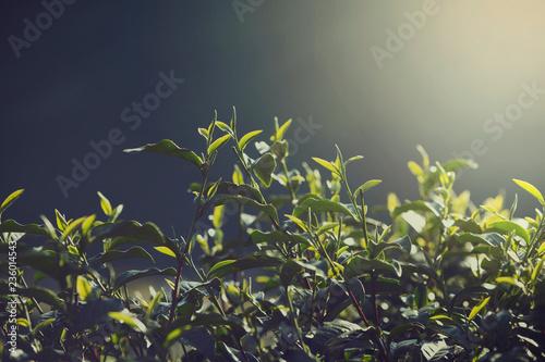 Fotografie, Obraz Tea plantation or tropical tree in farmland
