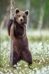Brown bear cub standing on his hind legs in the summer forest on the bog among white flowers. Front view. Natural Habitat. Brown bear, scientific name: Ursus arctos. Summer season.