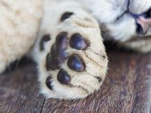Closeup Portrait Of Sleepy Lion Cub's Furry Paw, Cute Meat Pad.