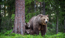 She-bear And Cubs In The Summe...