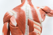 Muscles Of Back Model For Physiology Education.