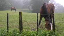 Two Chestnut Horses Feeding, One Foreground, One Background, Misty Morning