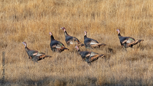 Wild turkey at San Diego lake grassland