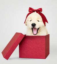 Golden Retriever Puppy In A Red Gift Box