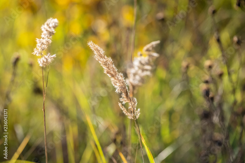 Fotografie, Obraz  Ears of sedge on the background of grass close up