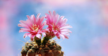 Flowers Of A Cactus Against The Blue Sky