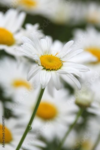Foto op Plexiglas Madeliefjes Daisy field in summer