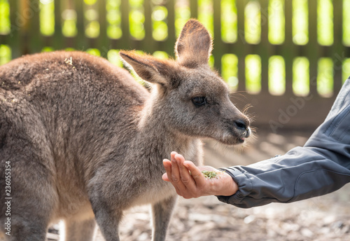 Australian wildlife : Person hand feeding wild kangaroo, outdoors from hand.