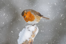 A Close Up Portrait Of A Robin...
