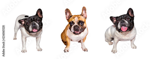 3 emotional french bulldog on white isolated background