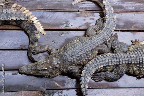 Fotobehang Krokodil Crocodile farm at Great Lake Tonle Sap lake in Siem Reap, Cambodia