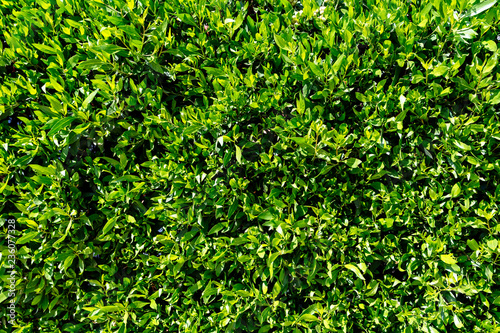 Ficus leaves textures close-up. Fototapeta