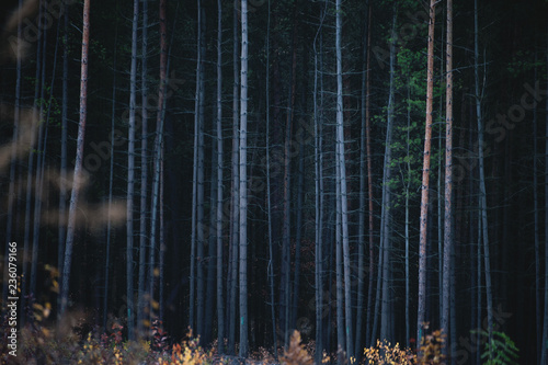 Foto op Canvas Fantasie Landschap The Bark Trunks of Dense Coniferous Forest.