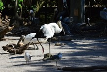 A Wood Stork In Florida