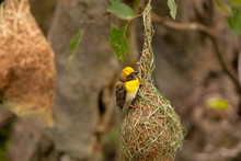 Baya Weaver With Nest, Ploceus Philippinus, Pune. Maharashtra, India.