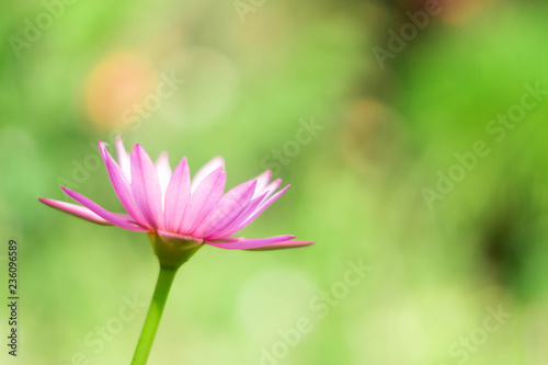 Foto op Canvas Lotusbloem Beautiful pink waterlily or lotus flower in pond