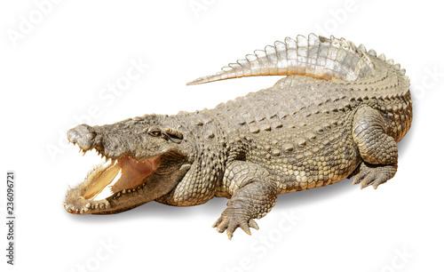 Autocollant pour porte Crocodile Crocodile on a white background