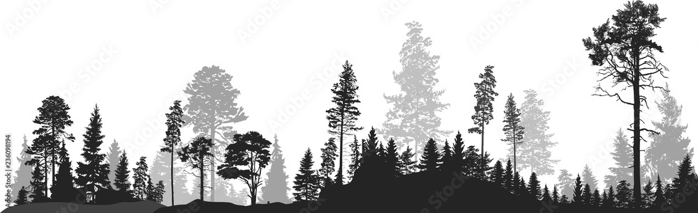 Fototapety, obrazy: panorama of high grey fir trees forest on white