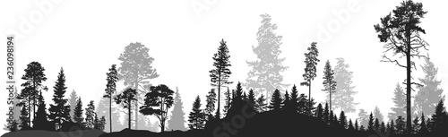 panorama of high grey fir trees forest on white - 236098194