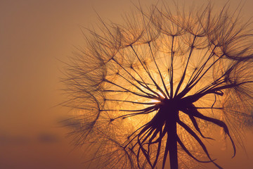 Dandelion silhouette in sunset light, summertime outdoor theme